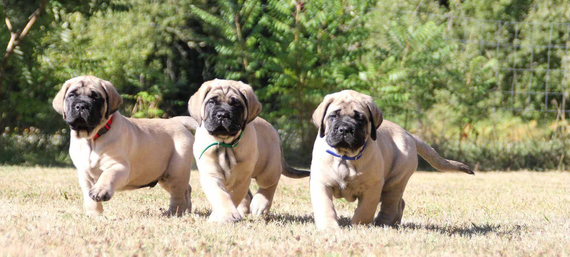 Mastiffs et Bullmastiffs de Molossie